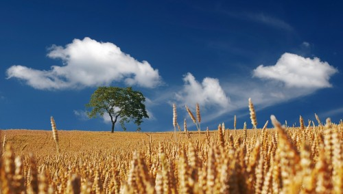 summer-192179_1280 16 Simple Living Tips: Photo of wheat field