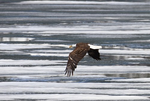 bald-eagle-888018_1280 Rules: 4 advantages to setting your own, Photo of bald eagle flying over half-frozen lake