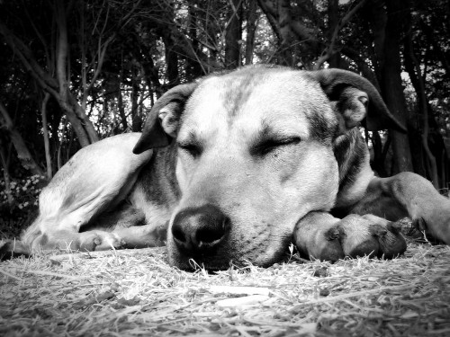dog-57528_1280 Simple day of rest: B&W photo of sleeping dog.