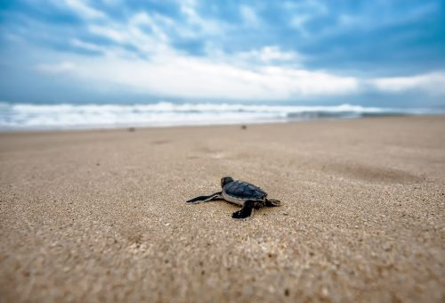 Taking responsibility for our own journey: Photo of baby turtle going to the ocean.